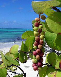 I remember these sea grapes In Puerto Rico Exotic Fruit, Tropical Fruits, Exotic Plants, Fruit And Veg, Fruits And Veggies, Vegetables, Bahamian Food, Comida Boricua, Grape Plant