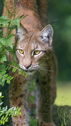 Lynx besides the bush (by Tambako the Jaguar)