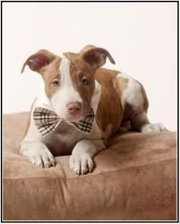 Theodore is an adoptable Pit Bull Terrier Dog in Richardson, TX.