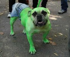 Bulldog Hulk: This is what we MUST do for Bella this Halloween! Best Dog Costumes, Halloween Costumes Pictures, Animal Costumes, Pet Costumes, Funny Costumes, Creative Costumes, Chien Halloween, Halloween Puppy, Funny Halloween