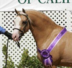 Love those ribbons. All The Pretty Horses, Beautiful Horses, Animals Beautiful, Welsh Pony, Connemara, Palomino, Horse Breeds, Corgis, Dog Life