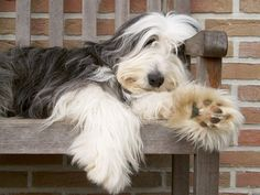 http://dogbreedslist.org/bearded-collie.html Bearded Collie : Dog Breeds Pictures!