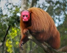 "A Uakari, one of four monkey species from the genus Cacajao. These monkeys can be found in the Amazon Basin. They are also known as ""E..."