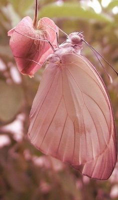 Beautiful Pink Butterfly on a pink bleeding heart bloom
