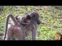 Watch the cute baby baboon trying very hard to irritate its family. Filmed in Kruger National Park Kruger National Park, Baboon, African Safari, Cute Baby Animals, The Dreamers, Cute Babies, Wildlife, Elephant, Photos