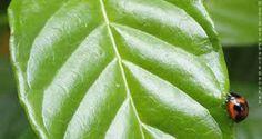 Resultado de imagen para coffee leaves