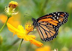 Plant milkweed to help fragile monarch population