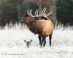 On my birthday a couple of weeks ago I spent the morning watching the Cataloochee Valley elk wake up, meander around, and occasionally serenade me with a resounding bugling call. Elk Hunting, Archery Hunting, Pheasant Hunting, Hunting Tips, Turkey Hunting, Elk Bugle, Elk Pictures, Bike Photoshoot, Animals Images