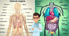 What Are the Organ Systems of the Human Body? ...