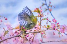 河津桜とメジロ(2)