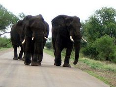 Elephants in the Kruger - These three walked slowly towards us and then decided to wander off. The right of way is not something you usually want to argue about in the Kruger and we were about to go into reverse! (With hearts pounding. Elephants, Wander, South Africa, To Go, Hearts, Explore, Park, Animals, Animales