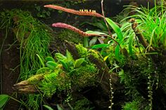 Gorgeous log by Dutch Rana featuring Bulbophyllum falcatum, stelis argentata, java moss, and a tiny creeping Peperomia species, and some Vriesea correia-araujoi to the far right (the grassy looking bromeliad clump, yes that is full grown!). Sadly I don't know the draping plant in the back, it looks to be one of the Cacti groups.