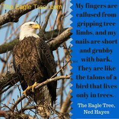 """""""My fingers are callused from gripping tree limbs, and my nails are short and grubby with bark. They are like the talons of a bird that lives only in trees."""" from THE EAGLE TREE by Ned Hayes .................. (Little A Publishing, 2016)"""