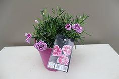 Beautiful Gift Plant - Carnation Charmy - Dwarf Pot Carnations - Fragrant Purple, pink and white flowers - Spring flower - Patio and border plant - Ideal low maintenance garden plant - Attract butterflies - Wildflower - Fully hardy outdoor flower. Best4garden http://www.amazon.co.uk/dp/B00V4SRUHS/ref=cm_sw_r_pi_dp_Ujyevb1TGZGM6