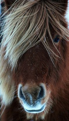 Icelandic Horse In The Wild. Photo Credit: Georg Vilhj�lmsson