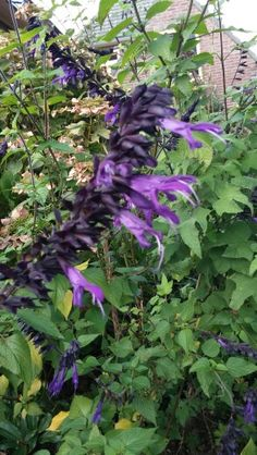 Mooie paarse Salvia