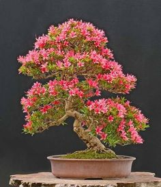 Hermosa azalea bonsai