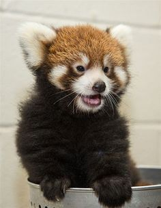 Red panda at the Nashville Zoo is too cute for words.