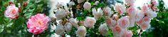 Nursery Ancient Roses - Alta Maremma, Tuscany