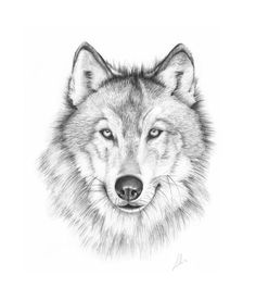 Wolves in the news 2014 wolf head drawing, wolf drawing easy, drawings Wolf Face Drawing, Wolf Drawing Easy, Wolf Tattoo Design, Wolf Wallpaper, Animal Wallpaper, Wolf Tattoos, Tattoos Of Wolves, Wolf Face Tattoo, Animal Drawings
