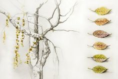 Weeping Birch: Amanda Kavanagh pencil and watercolor