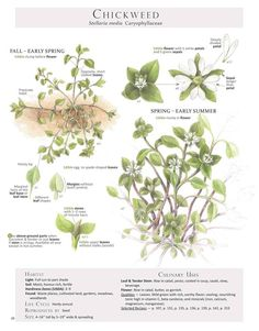 Chickweed (Stellaria media) high in vitamin C, beta carotene, and minerals such as iron, calcium, magnesium, and manganese. This wild and weedy friend has a mild green, rich earthy flavor that makes it appealing to many palates. Chickweed Plant Identification page from our book Foraging & Feasting: A Field Guide and Wild Food Cookbook by Dina Falconi; illustrated by Wendy Hollender.