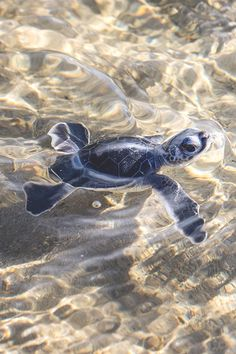 - Inn at the Beach, Venice FL The tiniest, most adorable little baby turtle.The tiniest, most adorable little baby turtle. Cute Creatures, Sea Creatures, Cute Baby Turtles, Tortoise Turtle, Turtle Love, Turtle Beach, Tiny Turtle, Cute Little Animals, Adorable Baby Animals