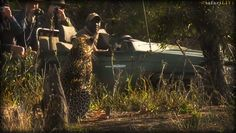 Taxxon from Djuma Lodge and Hosana on #safarilive @Wium @revealed_africa 10-15-17 Laura B from Alabama (@lauragaile)   Twitter