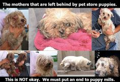 At least two puppies purchased at Furry Babies retail stores die of parvo Rescue Dogs, Animal Rescue, Pet Store Puppies, Dog Abuse, Post Animal, Stop Animal Cruelty, Puppy Mills, Cute Animal Pictures, Dog Quotes