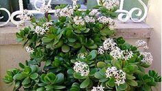 Nome Científico:Crassula ovata. Nomes Populares:Planta-jade, Árvore-da-amizade, Bálsamo-de-jardim, Planta de dinheiro, Rosa alegria e Planta do dólar. Fa