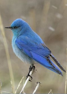 Mountain Blue Bird by Ronnie and Frances Howard