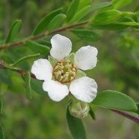 The chemicals in tea tree oil may help kill bacteria and fungus and reduce allergic skin reactions. - ProHealth.com