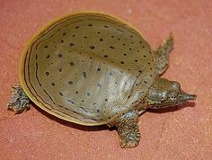 Juvenile Spiny Softshell Turtle... Had one as a pet, sassy little brat! Hissed @ everyone! lol