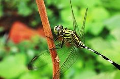 Dragonfly, Insects Leaves, Green Damselflies, Pictures Images, Insects, Leaves, Natural, Green, Animals, Animales, Animaux