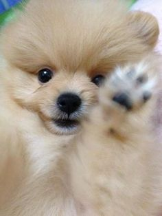 Bdccbfcebjpg Pixels Dogs - Someone should have told this dog owner that pomeranians melt in water