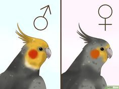 """How to Tell if a Cockatiel Is Male or Female. Cockatiels are a native Australian bird, cousins to others such as the Galah and black cockatoo. Adult cockatiels with the """"normal grey"""" coloration, a grey body with yellow head, are relatively. Cockatiel Toys, Cockatiel Care, Pet Bird Cage, Funny Parrots, Bird Aviary, Australian Birds, Cute Birds, Cute Little Animals, Cute Kittens"""