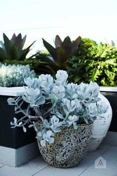 Designing With Plants — Adam Robinson Design Consider the combinations of texture with your plants. Image from our Drummoyne rooftop and balcony garden project Succulent Landscaping, Succulents Garden, Backyard Landscaping, Planting Flowers, Landscaping Ideas, Balcony Plants, Balcony Garden, Garden Pots, Potted Plants