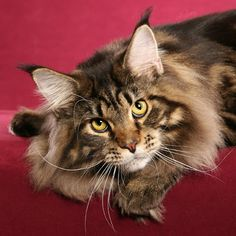 This is Michaelangelo, a beautifully groomed young Brown Classic Tabby Maine Coon whom we photographed in Japan in 2006. What a Face!  Michaelangelo was the cover cat for a calendar published by Cat Fancy. | by Helmi Flick