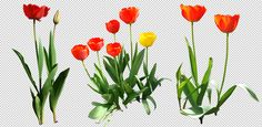 Tulip png by gd08.deviantart.com on @deviantART