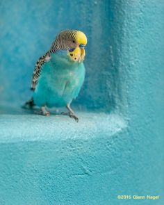 Budgerigar and turquoise. Cute Birds, Pretty Birds, Beautiful Birds, Animals Beautiful, Beautiful Pictures, Vert Turquoise, Shades Of Turquoise, Shades Of Blue, Turquoise Cottage