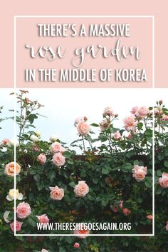 While April sees the cherry blossoms, May is when all the roses come out! Check out the Gokseong Rose Festival for a truly lovely time. via @There She Goes Again | Travel