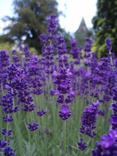 Lovely lavender. (It's also a natural mosquito repellant.) Great link for other suggestions.