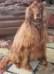 Want a loving and loyal pet?  Rescue and Irish Setter.  How could you not love this face?