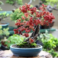 Explore the Adorable miniature Tree Bonsai at The Architecture Designs. Visit for getting the information about the types and the history of bonsai tree. Banyan Tree Bonsai, Bonsai Fruit Tree, Buy Bonsai Tree, Flowering Bonsai Tree, Bonsai Trees For Sale, Bonsai Tree Care, Bonsai Tree Types, Bonsai Art, Bonsai Plants