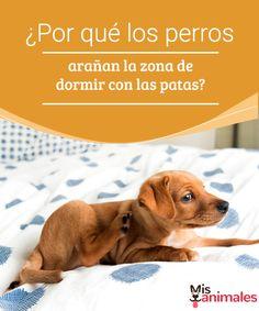 ¿Por qué los perros arañan la zona de dormir con las patas?  ¿Por qué los perros arañan su zona de dormir? ¿Sabes la respuesta? encuentra en este artículo algunas ideas para despejar tus dudas.