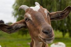 La cabra #animales #cabra #curiosidades #curiosfera @curiosfera