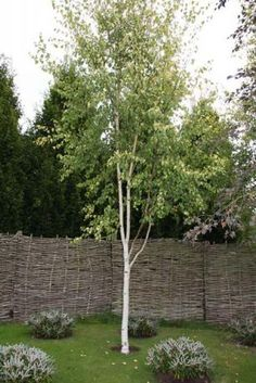 Betula pen Golden Beauty Betula pendula Golden Beauty true golden leaved form of birch that is bright and cheerful whose leaves do not scorch. Good autumn colour and white bark in winter.