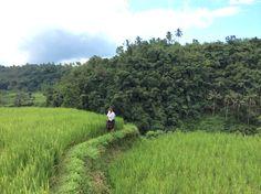 Ricefields on the way to Pura Besakih!