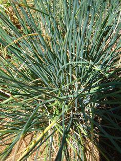 Cebolinha  (Allium fistulosum): Descrição, Cultivo, Uso Culinário