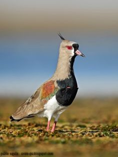 mis fotos de aves: Tero común [Vanellus chilensis] Southern lapwing